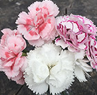 Award-winning dianthus collection