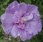 Hibiscus syriacus Lavender Chiffon ('Notwoodone') (PBR)