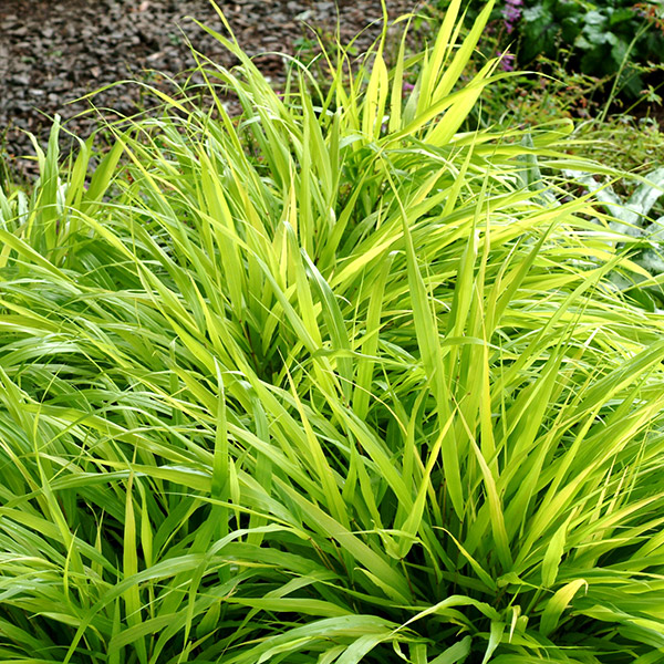 Buy hakonechloa hakonechloa macra 39 all gold 39 delivery by for Full sun perennial grasses