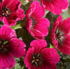 Geranium cinereum Jolly Jewel Purple ('Noortpur') (PBR)
