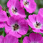 Geranium cinereum Jolly Jewel Hot Pink ('Noortjjhpi') (PBR)