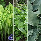 The Mixed Highgrove Hosta Collection