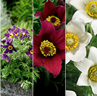 Pulsatilla Pinwheel collection