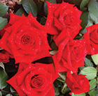 rose Special Dad (hybrid tea)