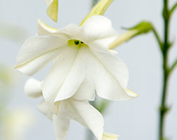Image of Nicotiana alata (40 plus 20 FREE large plug plants)