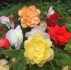Begonia Illumination Mixed