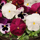 Pansy Matrix Raspberry Sundae