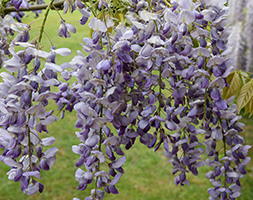 Click to view product details and reviews for Wisteria Sinensis Aposprolificapos Chinese Wisteria.