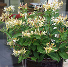 Lonicera Blond & Beyond
