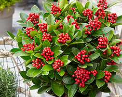 Click to view product details and reviews for Skimmia Japonica Obsession Aposobsbolwiapos Pbr Female Japanese Skimmia Female.