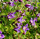 Clematis Prince William ('Zo08171') (PBR)