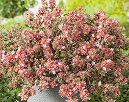 Click to view product details and reviews for Abelia X Grandiflora Magic Daydream Aposopstal103apos Pbr Abelia.