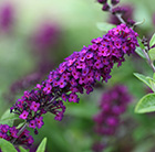Buddleja Little Nugget ('POQUITO') (PBR)