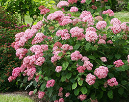 Click to view product details and reviews for Hydrangea Arborescens Pink Annabelle Aposncha2apos Pbr Sevenbark Pink Annabelle.