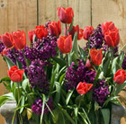 Bulbs for pots - Red and plum