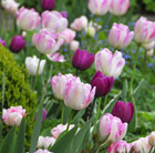 Raspberry and plum tulip collection