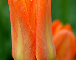 Click to view product details and reviews for Tulipa Aposorange Brilliantapos Fosteraina Tulip Bulbs.