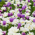 White and lilac  tulip collection