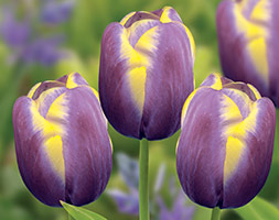 Click to view product details and reviews for Tulipa Aposarabian Beautyapos Triumph Tulip Bulbs.
