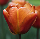 Tulipa Brown Sugar