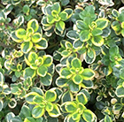 Thymus Lemon Variegated