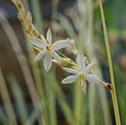 syn Anthericum)