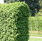 common hornbeam - 60-80cm tall (2 years old bare root hedging)