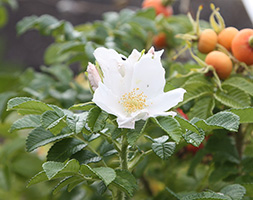 Click to view product details and reviews for Rosa Rugosa Aposalbaapos White Japanese Rose Shrub 40 60cm Tall 2 Years Old Bare Root Hedging.