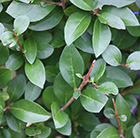 oval leaf privet  - 60-80cm tall (1 year old bare root hedging)