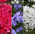 Scented phlox collection