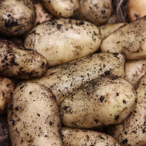 seed potato for summer planting