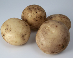 Potato Apospentland Javelinapos Pbr Seed Potato For Summer Planting Scottish Basic Seed Potato
