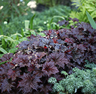 Heuchera villosa Palace Purple