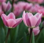 Tulipa Light and Dreamy