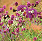 Butterfly allium collection