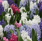 Colourful hyacinth collection