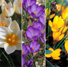 Spring flowering crocus collection