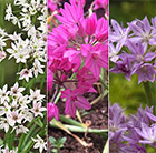 New and Unusual Allium collection
