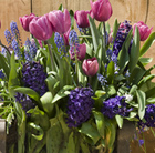 Bulbs for pots -  Rich blues