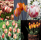 Rembrant-style tulip collection