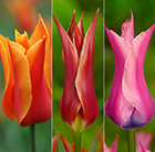 Vibrant lily-flowered tulip collection