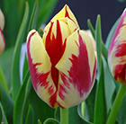 Tulipa Grand Perfection (PBR)