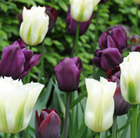 Ebony and ivory tulip collection