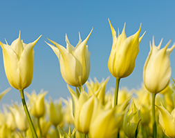 Click to view product details and reviews for Tulipa Apossapporoapos Lily Flowered Tulip Bulbs.