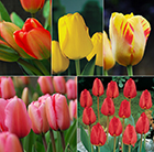 Large flowered tulips - Darwin tulip collection