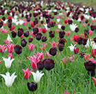 Neapolitan tulip collection