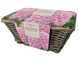 indoor pink hyacinths and wicker basket gift set (gift set)