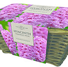 indoor pink hyacinths and wicker basket gift set