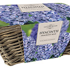 indoor blue hyacinths and wicker basket gift set