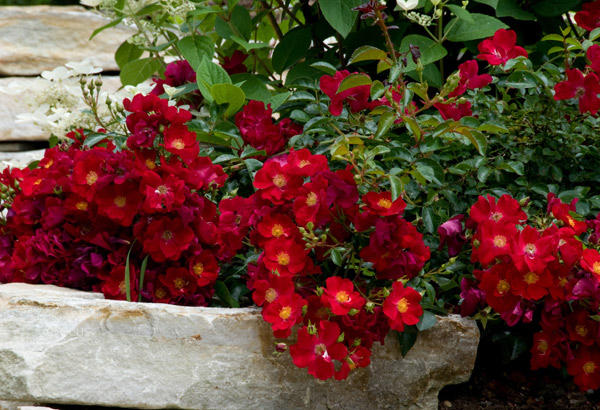 rose Flower Carpet Red Velvet (ground cover rose)